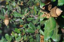 fruit (acorns) and leaves