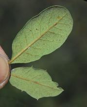 leaves, underside