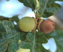 ripening acorns