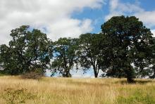 in habitat, oak savanna