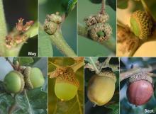 acorn development