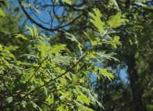 leafy branches