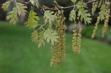 catkins and expanding leaves