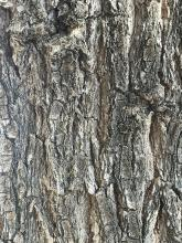 bark, 20-30 yr-old tree
