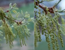 expanding leaves and flowers (catkins)