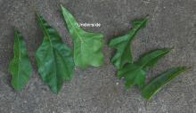 leaves, variation on young tree