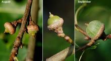 developing fruit (acorns):2