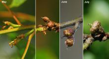 developing fruit (acorns):1