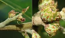 developing acorns