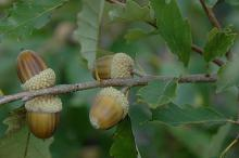 maturing acorns