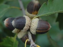 mature acorns