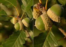 developing acorns
