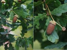 leaves and fruit (acorn)