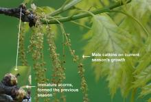 immature acorns, male catkins and leaves