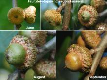 fruit (acorn) development