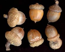 acorns from different trees