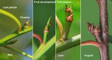 flowers and fruit (acorn) development