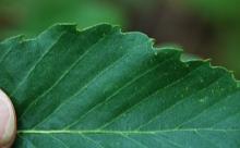 leaf surface, margin