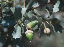 developing acorns and leaves
