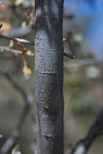 young trunk, bark