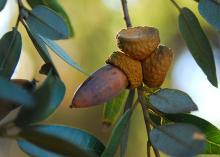 fruit (acorn)