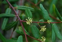 leaves and young flower clusters
