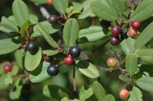 unripe and ripe fruit
