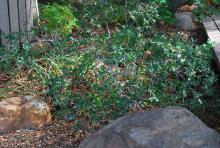 plant habit, in shade
