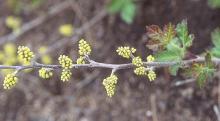 female flower clusters