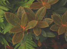 leaves, early summer