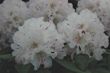 faded flower clusters