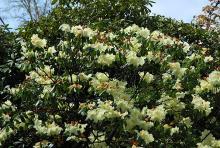 plant habit, flower bud and flowers