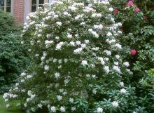 flowering habit, older plant