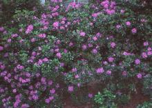 plant habit (larger), flowering