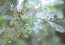 fruit clusters, summer