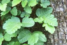 leaves, vine on tree