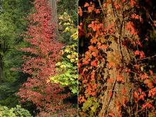 vines on trees, fall