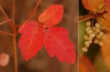 leaf and fruit, fall