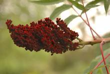 fruit cluster, fall