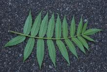 leaf,underside