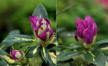 opening flower buds