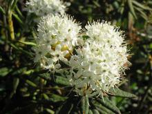 flower clusters (Wikipedia)