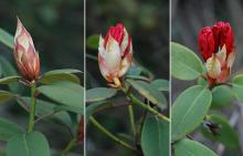 opening flower bud