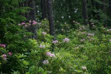 flowering Oregon's Cascade Mountains