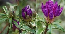flower bud opening