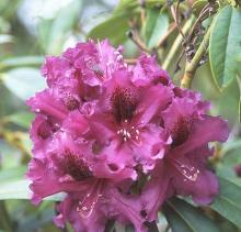flower cluster