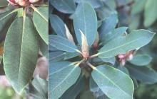 leaves and bud