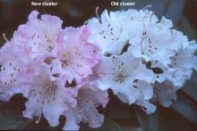 new and old flower clusters