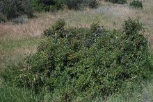 plant habit, fruiting in habitat