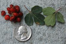 fruit cluster and leaf